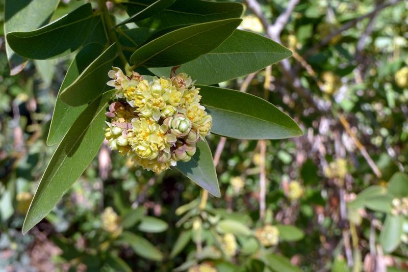 Umbellularia californica-Californai Bay